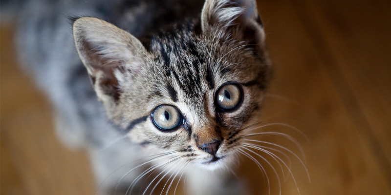 What are the breeds of cats